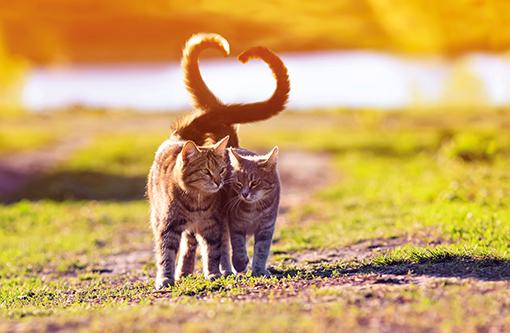 Zwei Katzen im Freien. Frühling. Katzen formen mit Schwänzen ein Herz. Fellwechsel Frühling. Katzenpaar