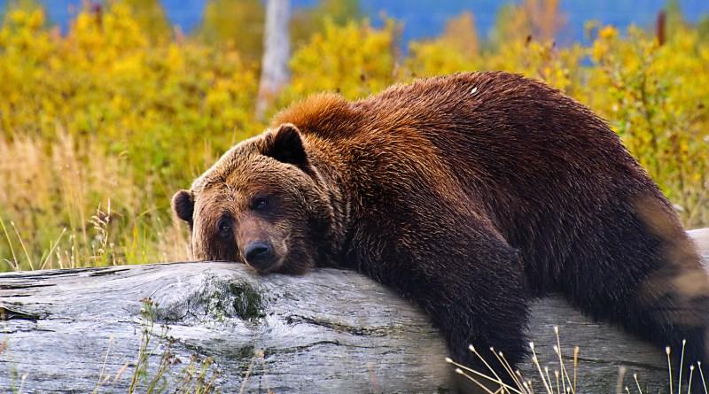 Gemütlichkeit, entspannter Bär auf Baumstamm,