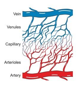 Kapillarsystem. Kapillaren. Venen. Illustration. Arterien
