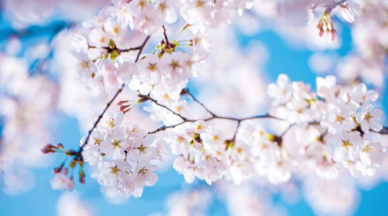Zweig voller Kirschblüten. Blauer Himmel. Ast mit Kirschblüte. Hautpflege im Frühling