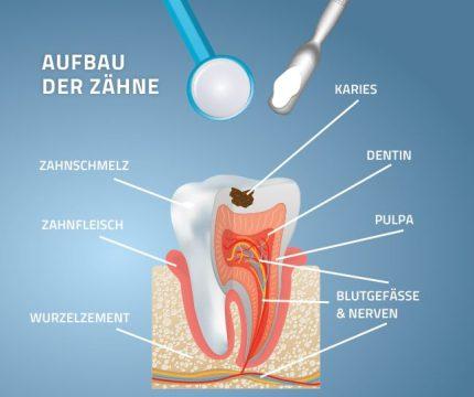 Abbildung vom Aufbau eines Zahns. Detailansicht
