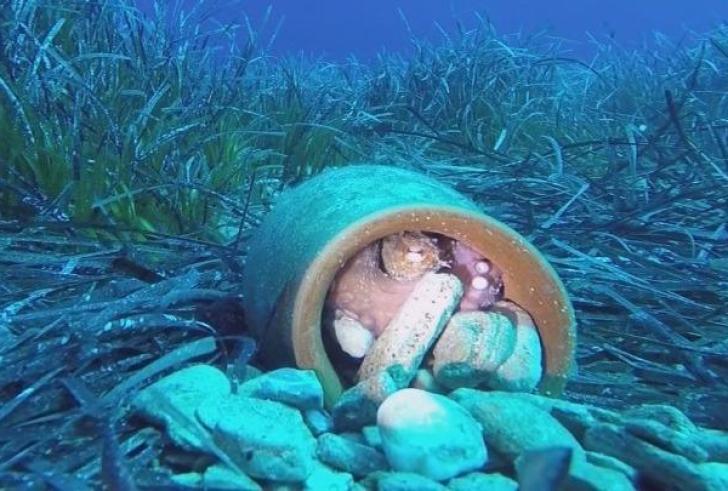 Τεχνητοί θάλαμοι εκτροφής χταποδιών για την διατήρηση της Μεσογειακής φώκιας