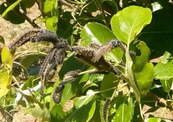 Ανησυχία για τις υπεράριθμες κάμπιες που απειλούν τα δέντρα στο Αμάρι (φώτο)
