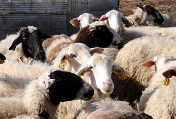 Κρήτη: Δειγματοληψίες εγκεφάλων από πρόβατα και αίγες