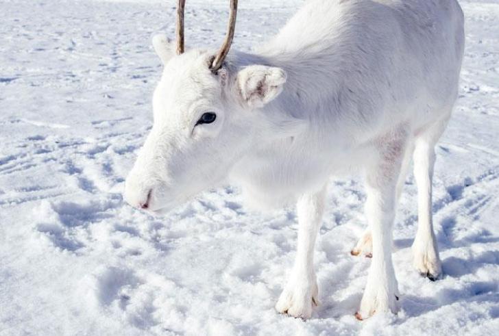 Σπάνιος λευκός τάρανδος εντοπίστηκε στη Νορβηγία