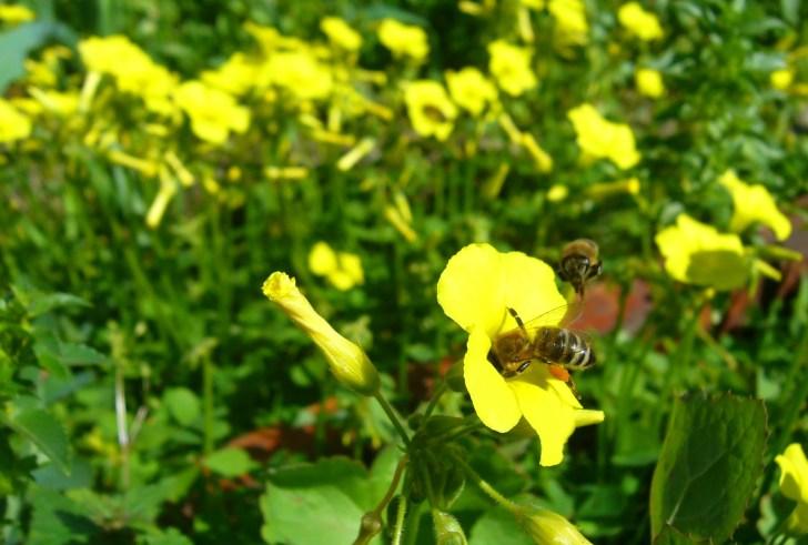 Κρήτη: Προστατέψτε τις μέλισσες, μην ξεριζώνετε τα ξινίδες!