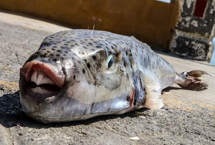 Στη Bουλή το πρόβλημα με τους λαγοκέφαλους στις θάλασσες της Κρήτης