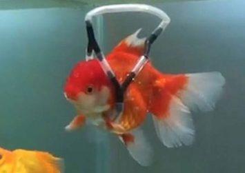 Έφτιαξε «αναπηρικό καροτσάκι» στο χρυσόψαρο του που δεν μπορούσε να κολυμπήσει!