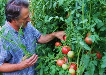 Μία νέα ασθένεια απειλεί τις καλλιέργειες τομάτας!