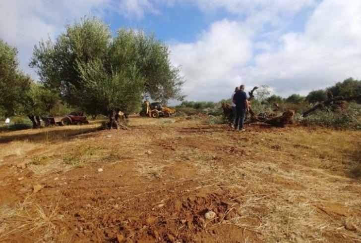 Κρήτη: Άρχισαν οι εκριζώσεις ελιών για το νέο αεροδρόμιο Καστελίου!