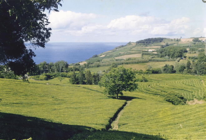 Gorreana Tea is made in this little piece of paradise. Courtesy of Gorreana.pt.