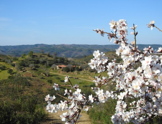 Almond Blossom by BeckyB (9)