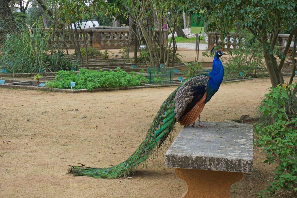 Peacock at the Ajuda Botanical Garden