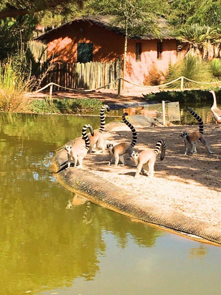 Lemurs at Badoca Safari Park