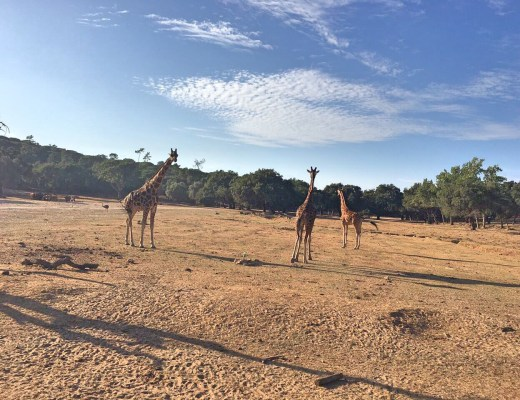 Giraffes at Badoca Safari Park
