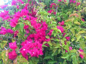 Pretty flowers in Funchal