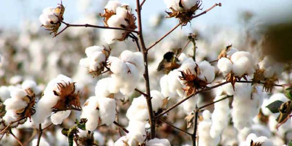 Pakistani researcher dreams big on Pak-China cooperation in cotton research