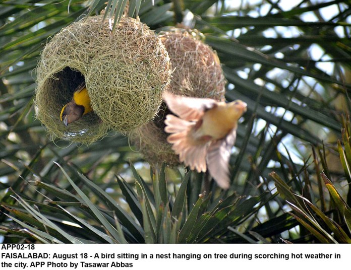 FAISALABAD: August 18 - A bird sitting in a nest hanging on tree during scorching hot weather in the city. APP Photo by Tasawar Abbas