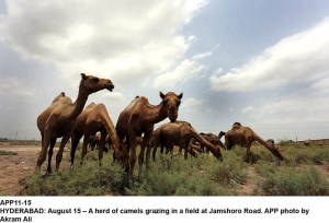 HYDERABAD: August 15 – A herd of camels grazing in a field at Jamshoro Road. APP photo by Akram Ali