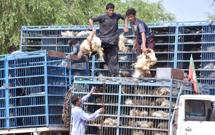 LARKANA: August 22 – Laborers busy in unloading the chickens from delivery truck at Naodero Road. APP photo by Nadeem Akhtar