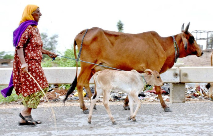 LARKANA: August 28 – A woman along with her cow passing at Aqil village Road. APP photo by Nadeem Akhtar