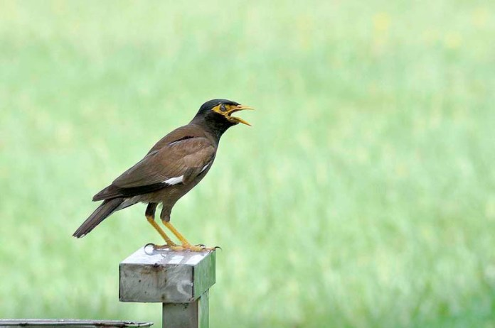 ISLAMABAD: August 22 – A bird Myna sitting on a bar with opened beak during a hot sunny day in the federal capital. APP photo by Saleem Rana