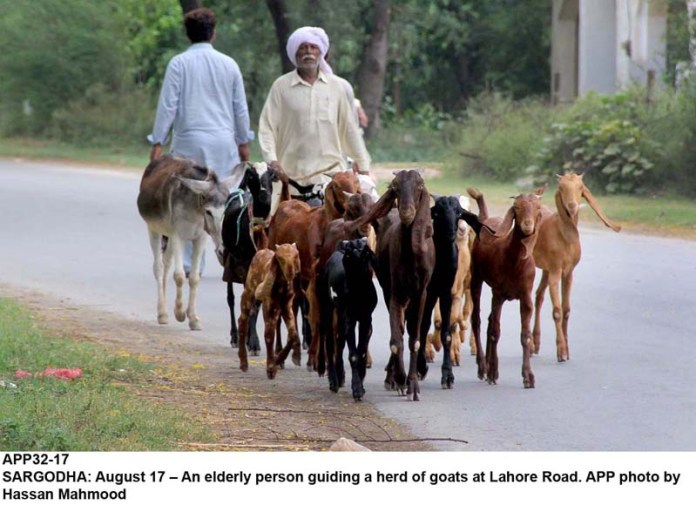 SARGODHA: August 17 – An elderly person guiding a herd of goats at Lahore Road. APP photo by Hassan Mahmood