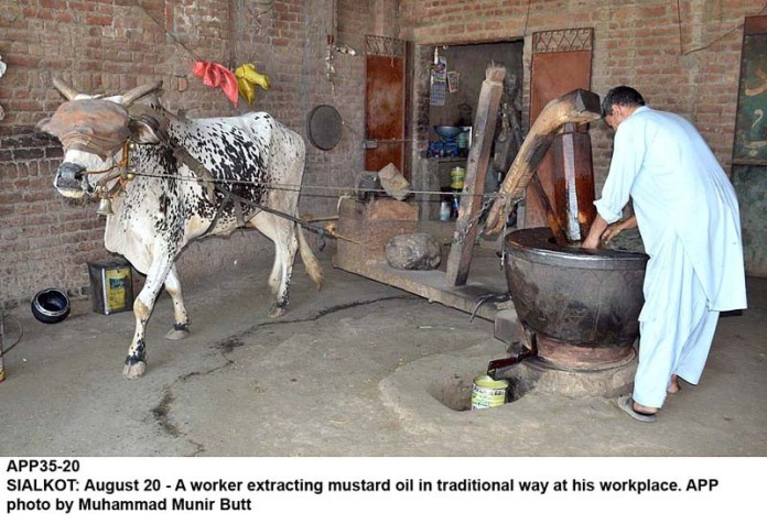 SIALKOT: August 20 - A worker extracting mustard oil in traditional way at his workplace. APP photo by Muhammad Munir Butt