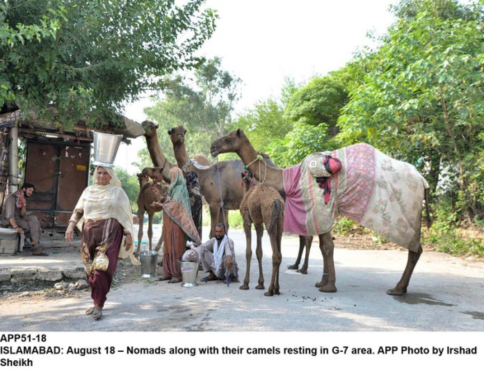 ISLAMABAD: August 18 – Nomads along with their camels resting in G-7 area. APP Photo by Irshad Sheikh