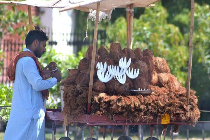 MULTAN: September 13 – Vendor busy in arranging and displaying coconuts to attract the customer at his roadside setup. APP photo by Safdar Abbas