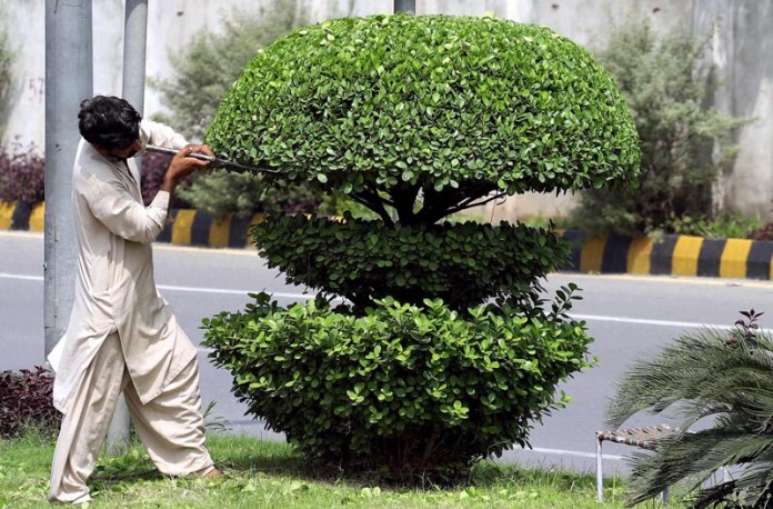 RAWALPINDI: September 07 – A PHA worker busy in cutting plants at Airport Road Rawalpindi. APP photo by Abid Zia