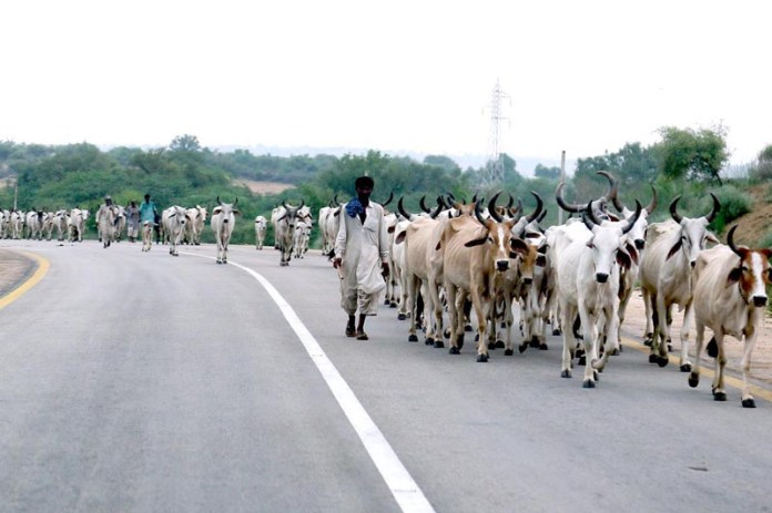 HYDERABAD: August 03 – A herd of cows on the way at Badin Road. APP photo by Akram Ali