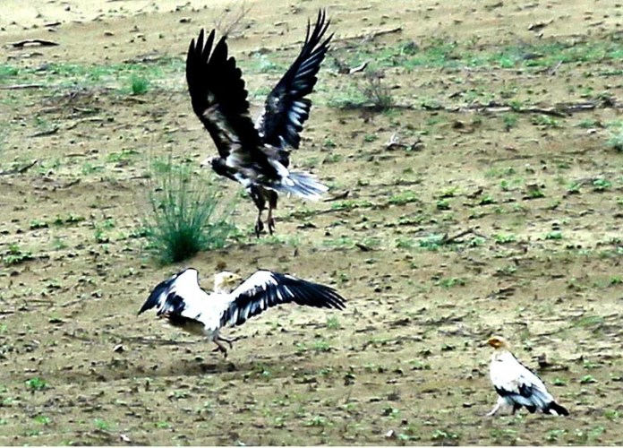 HYDERABAD: September 09 – A vulture flying for the hunting at Hala Road. APP photo by Akram Ali