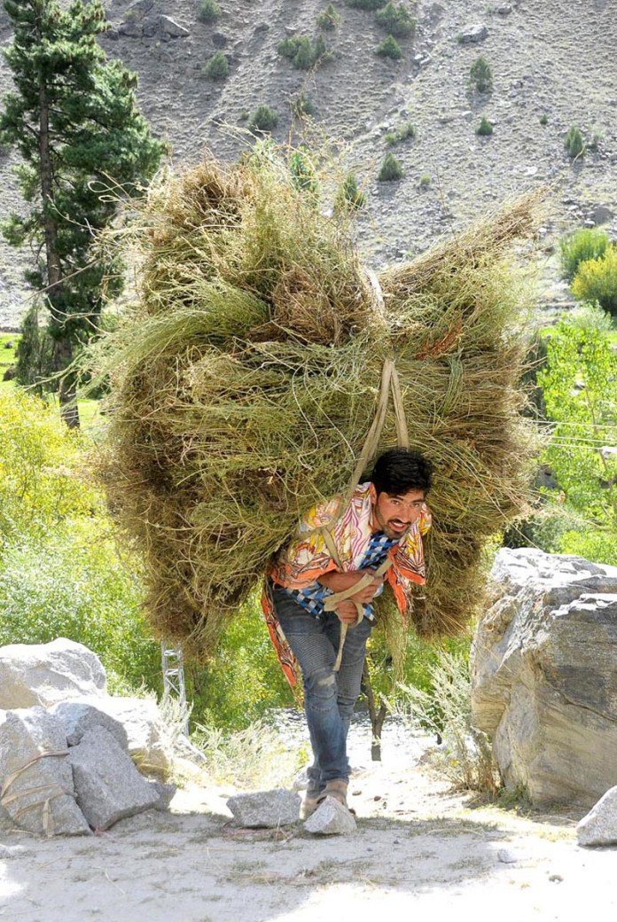 ASTORE VALLEY: September 18 – A youngster carrying heavy fodders on the way to store it for winter season. APP photo by Qasim Ghauri