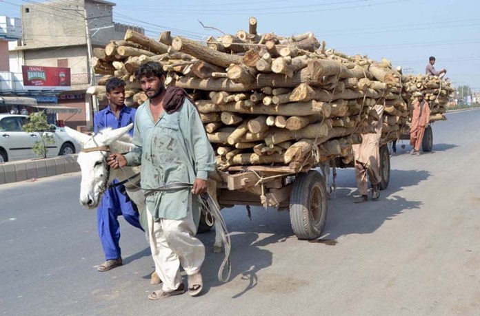 MULTAN: September 27 – Donkey cart holders on the way while loaded firewood. APP photo by Safdar Abbas