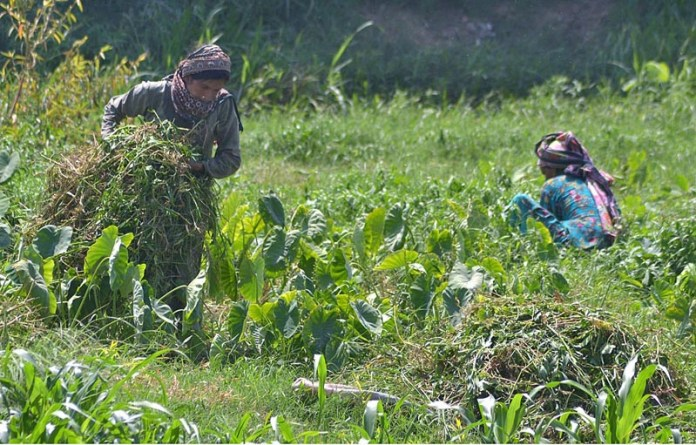 MULTAN: September 09 – Female farmers cutting grass for their animals in a field. APP photo by Safdar Abbas
