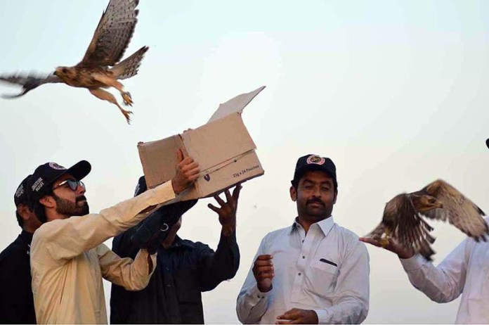 PESHAWAR: September 15 - Officials of Wildlife Department Khyber Pakhtunkhwa releasing more than 50 precious birds including white eyed buzzards and kestrel falcons after seizing them from poachers in D.I. Khan. APP