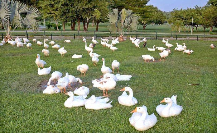 LAHORE: October 07 – A flock of ducks sitting at Model Town Park. APP photo by Ashraf Ch