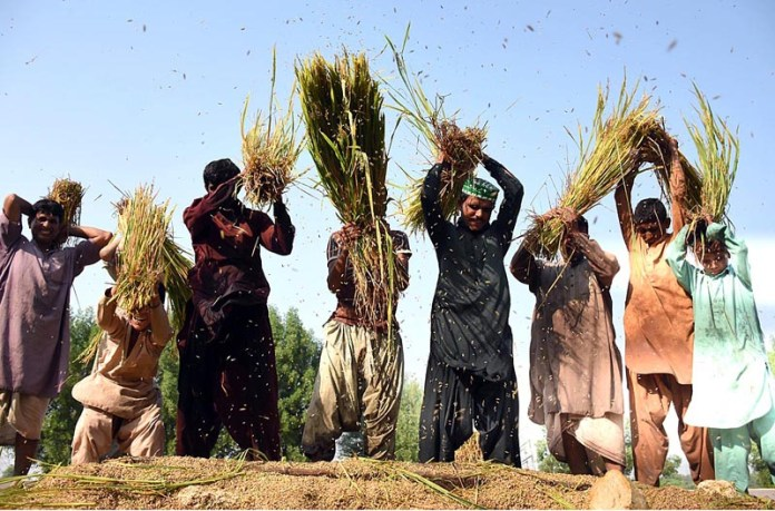 LARKANA: October 15 - Farmers busy rice crop in a traditional way in their field at Bypass Road. APP photo by Nadeem Akhtar