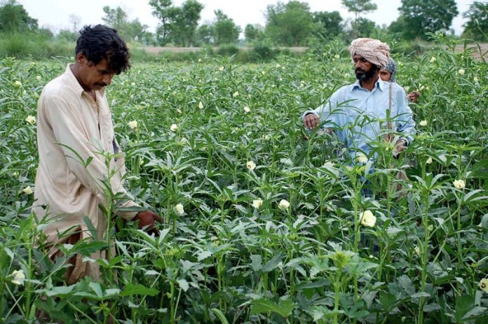 SARGODHA: October 11 - Farmers busy in collecting vegetable their farm felid. APP photo by Hassan Mahmood