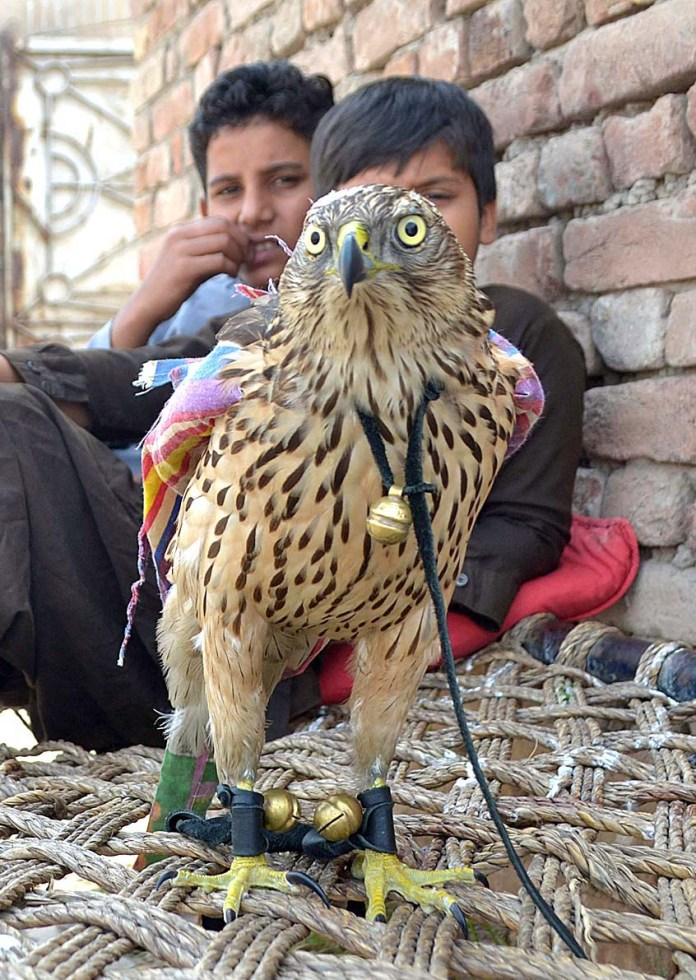 MULTAN: October 25 - Young vendor displays eagle to attract the customers near Rasheed Abad. APP photo by Safdar Abbas