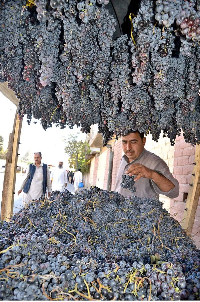 QUETTA: October 01 - A vendor selling black grapes at Fruit Market near Joint Road Quetta. APP photo by Mohsin Naseer