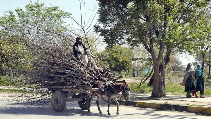 ISLAMABAD: October 17 – A gypsy on his donkey cart loaded with dry branches of tree for domestic use in the federal capital. APP photo by Saleem Rana