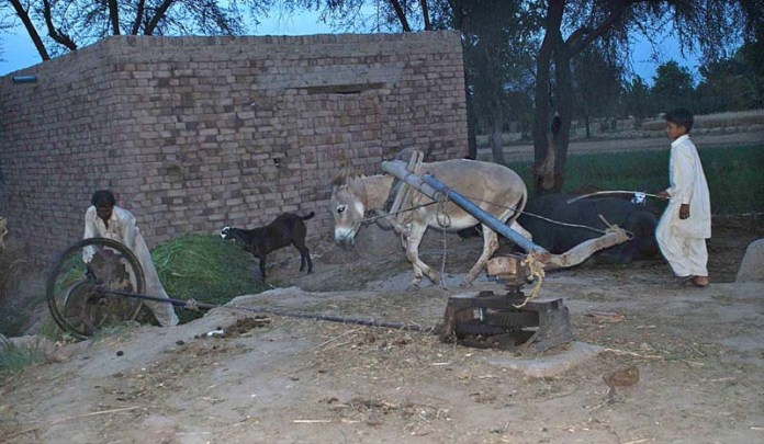 SARGODHA: October 22 - Farmers busy in cutting grass in their field. APP photo by Hassan Mahmood