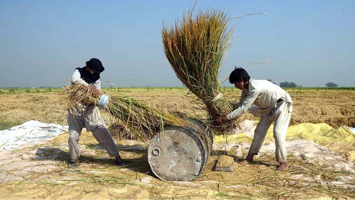 SIALKOT: October 13 – Farmers thrashing the rice crop in a traditional way at their field. APP photo by Munir Butt