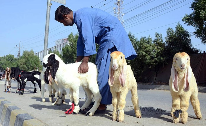 A vendor displaying baby lambs to attract the customers at his roadside setup
