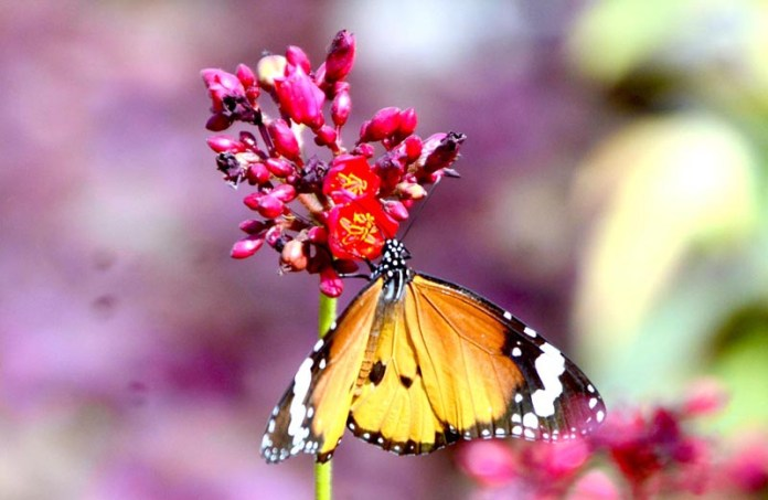A colorful butterfly extracting nectar from the seasonal flower at local garden