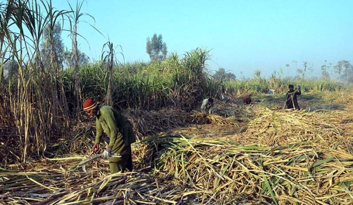 Farmers harvesting sugarcane crop in their field