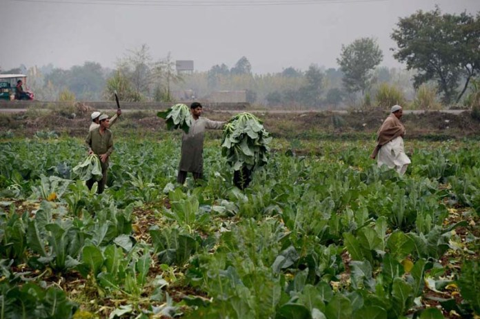Farmers busy in collecting cauliflower from field near Northern Bypass