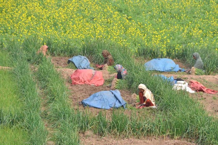 Women workers busy in working in the fields